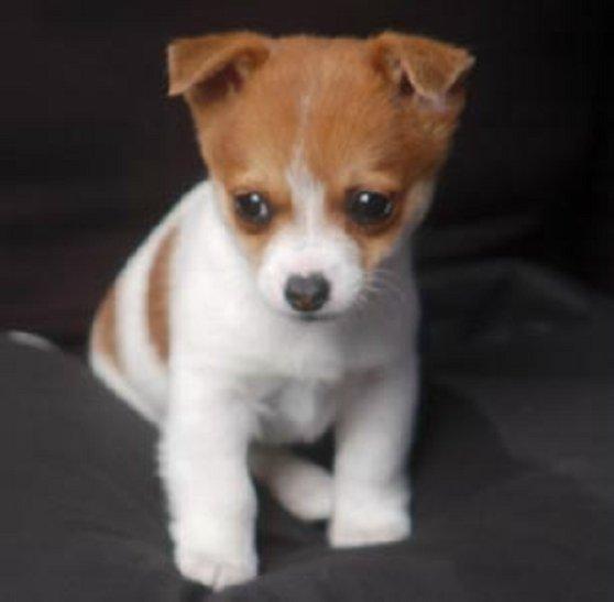 Domestic Dog Canis Lupus Familiaris
