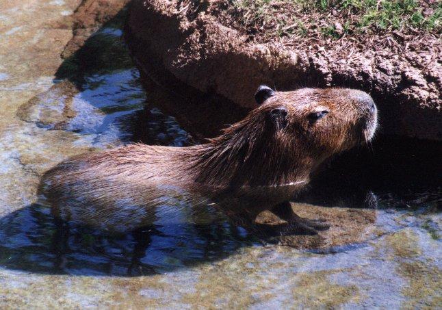 Aninimal Book: Capybara (Hydrochaeris hydrochaeris)