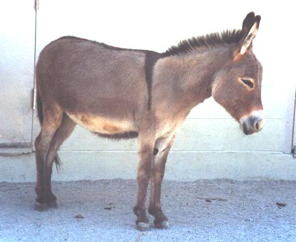 Donkey Wild Ass