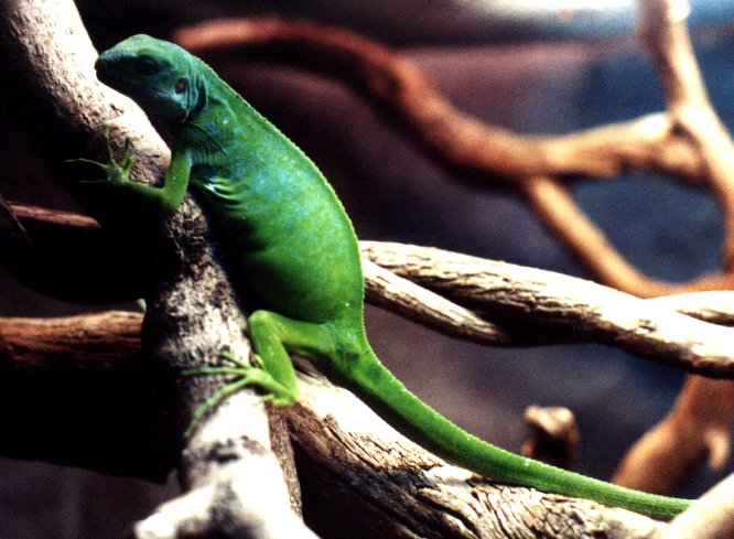Fiji Banded Iguana Brachylophus Fasciatus