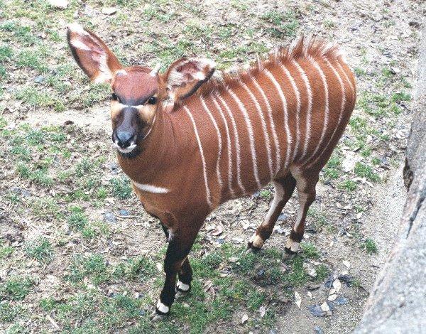 Bongo Antelope Tragelaphus Euryceros