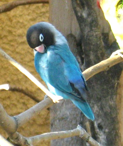 Blue Masked Lov... Violet Masked Lovebird