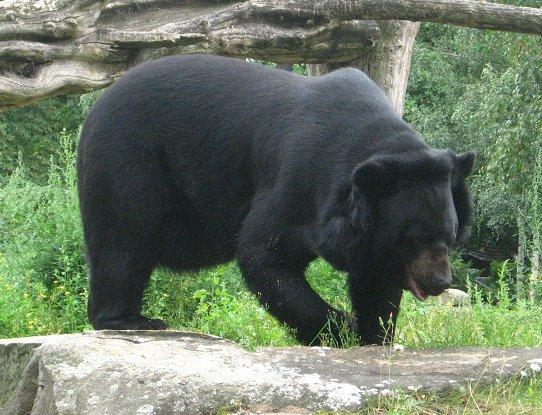 Asiatic Black Bear (Ur...