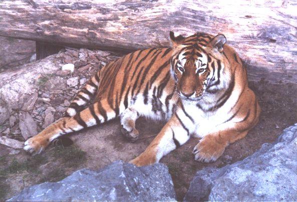 tigrsib2