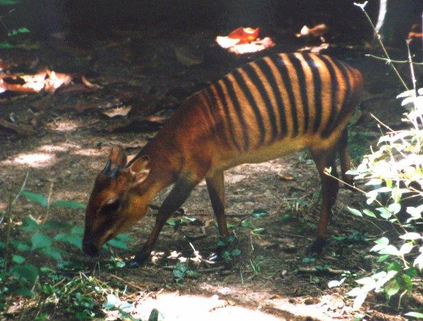 Zebra Duiker Cephalophus Zebra