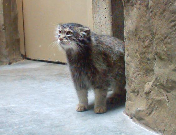Pallas Cat Otocolobus Manul