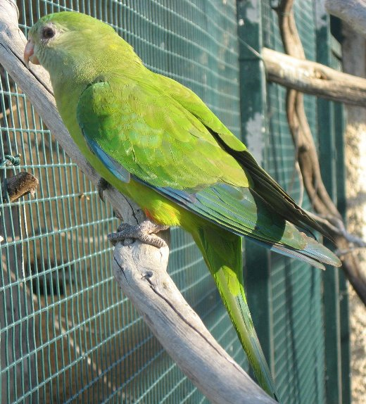 superb parrot polytelis swainsonii